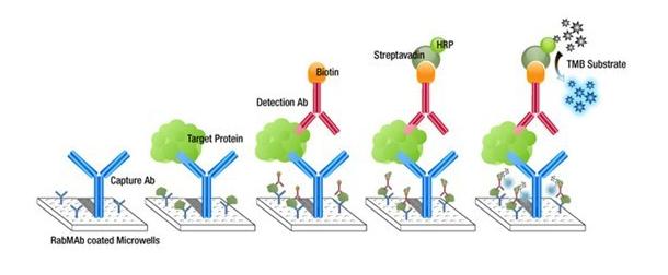 捕获抗体的蛋白结构图